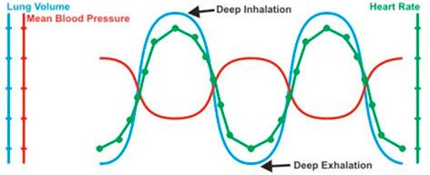 深呼吸における血圧と心拍数の関係で示したダイアグラム